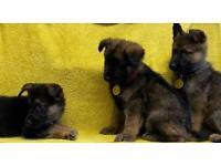Gorgeous German shepherd puppies!