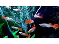 Young Guppies / Guppy Fish - Blond Red Strain - males and females - 2 months old