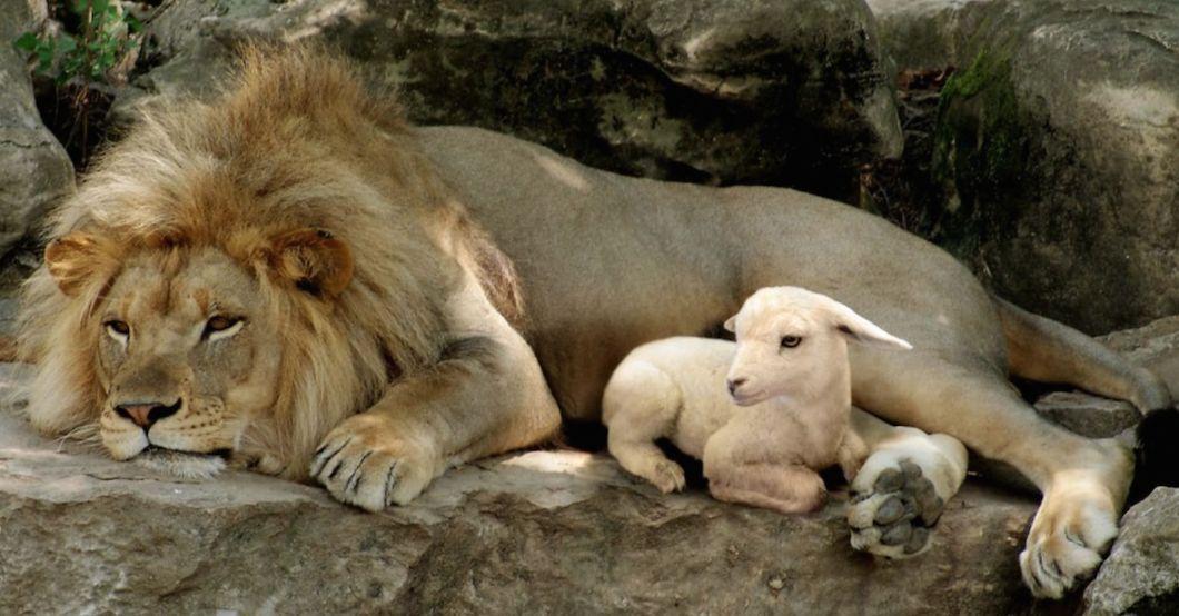 Lion-n-Lamb