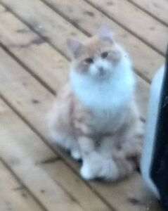 Found orange and white long haired cat Prince George British Columbia image 1