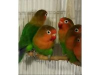 HIGH & STRONG QUALITY Fischer Lovebirds [£30 EACH] For Sale + Cages From £20
