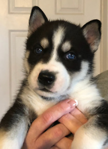 Siberian Husky puppies / Black and White with Blue eyes
