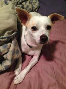 """Adult Male Dog - Chihuahua: """"Spot"""""""