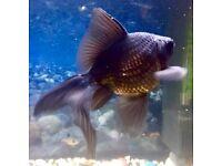 Black goldfish fantail