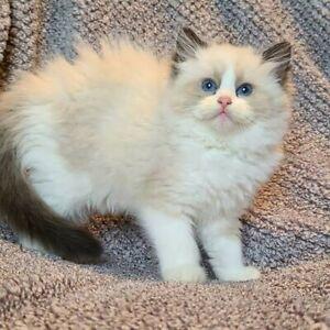 Purebred ragdoll kitten