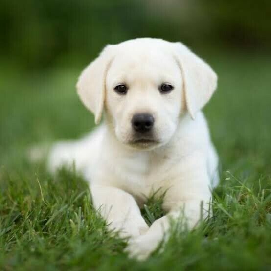 11 week old Labrador puppy | Dogs & Puppies | Gumtree South Australia