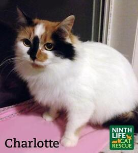 "Adult Female Cat - Domestic Medium Hair: ""Charlotte"" Oakville / Halton Region Toronto (GTA) image 2"