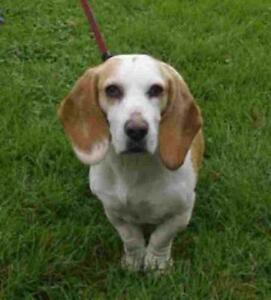 "Adult Female Dog - Basset Hound: ""DAISY"""