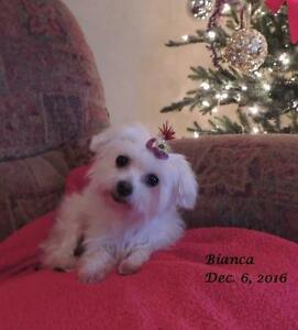 "Adult Female Dog - Maltese: ""Bianca"""