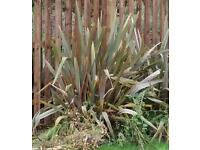 Large Yucca Plants