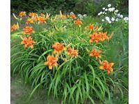 5 x HEMEROCALLIS DAYLILY KWANSO rare variety young plants for £9