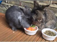 Rabbits Bill & Ted for sale with large hutch