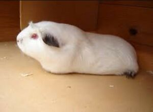 Albino Guinea pig with black ears Lalor Whittlesea Area Preview