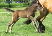 ALL Breeding Stock for sale! Warmbloods
