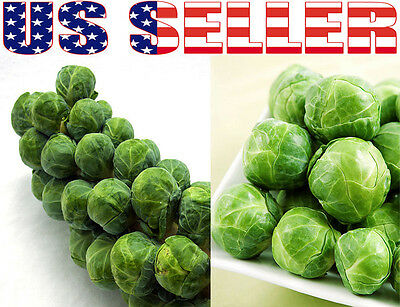 100  Organically Grown Long Island Improved Brussel Sprouts Seeds Heirloom Usa