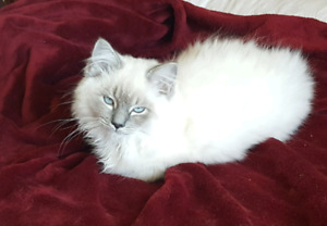 Blue lynx Male Ragdoll Kitten TICA Neutered