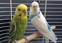 Pair of Blue/White and Yellow/Green Budgie Bird
