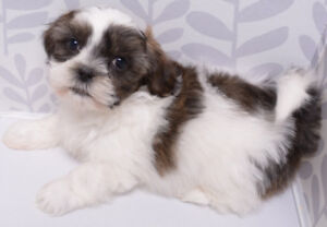 SHIHTZU PUPPIES WITH IMPERIAL MARKINGS - 2 MALES & 1 FEMALE