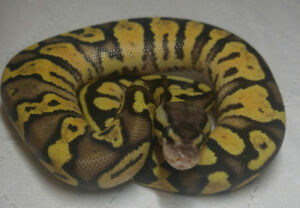 Beautiful 2017 Citrus Pastel Yellowbelly male- SOLD