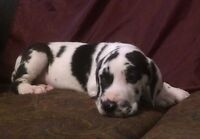 European Great Dane Puppies! 3 Left!