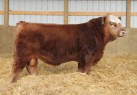 Simmental Summit Bull and Female Sale