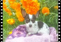 Teacup Chihuahua  Pocket Pups 3lbs adult wt. $700