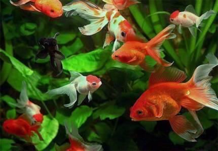Gold Fish, Zebra Danios, Golden Medakas & More P&K Pets