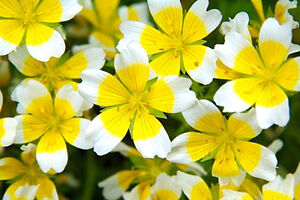 POACHED EGG PLANT - 300 seeds - Limnanthes douglasii - YELLOW WITH WHITE EDGE