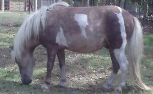 Miniature horse/pony COLT rising 2 very sweet boy Cooroy Noosa Area Preview