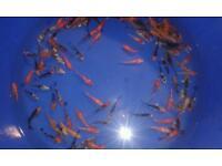Koi carp pond fish 1inch