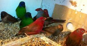 african fire finches Whittlesea Whittlesea Area Preview
