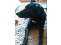 Izzy, the Collie Cross needs a loving home