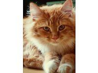 RAGDOLL GINGER HAIRED CAT