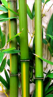 1 Tropical Island 'Yellow Groove' Cold Hardy Bamboo 12 inch Rhizome Lg Privacy Tropical Island Bamboo