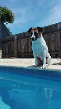 Jack Russell 2 years old Baldivis Rockingham Area Preview