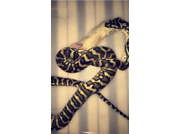 1 yr old Costal Carpet Python with 3ft Vivian (including interior)