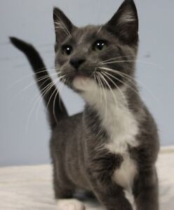 "Baby Male Cat - Domestic Short Hair: ""Taro"""