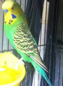 budgies for sale Epping Whittlesea Area Preview