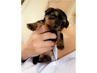 Miniature Yorkshire Terrier Puppies