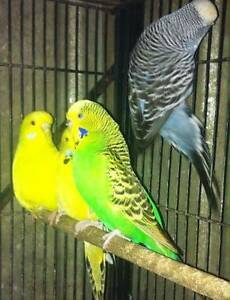 20 club rung english budgies and breeding cages Epping Whittlesea Area Preview