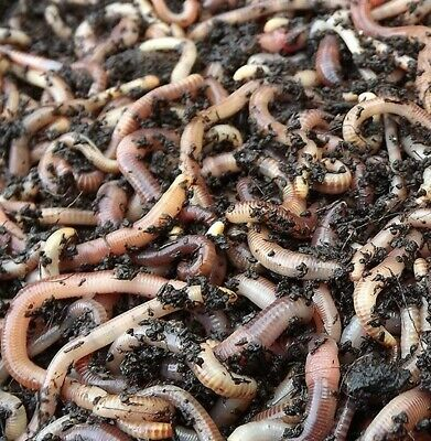 ORGANIC COMPOSTING WORMS COMPOST STARTER CULTURE / OR FISH FOOD