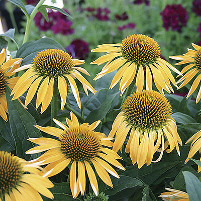 Echinacea Purpurea Seeds   Sunrise   Big Sky Coneflower   Perennial   15 Seeds