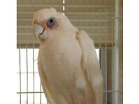 5 year old Cockatoo parrot for sale with large cage