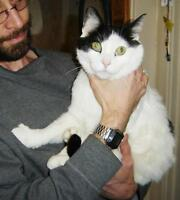 Male Cat - Domestic Short Hair-black and white-Turkish Van