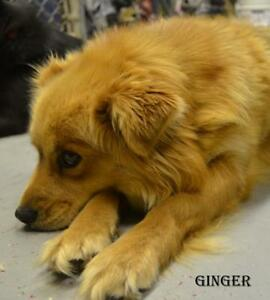 "Adult Female Dog - Pomeranian: ""Ginger"""