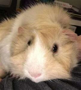 """Young Male Small & Furry - Guinea Pig: """"Horton"""""""