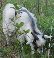 REALLY NICE SMALL PYGMY BUCK  GOAT INTACK