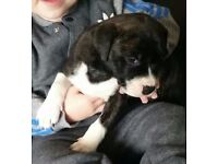 American bulldog x staffie. 2 girls left
