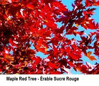 MAPLE TREE  ERABLE ROUGE ★ SUGAR MAPLE ★ accepte Paypal ----
