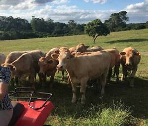 12 Quiet Yearling Steers - suit small property Bangalow Byron Area Preview